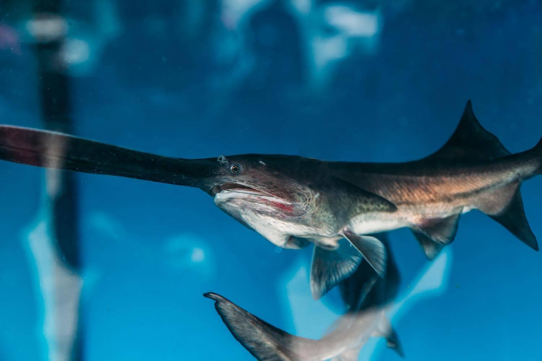 Рыба веслонос или вислоносый осетр: места обитания