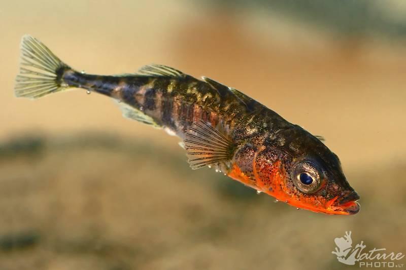 Трехиглая колюшка: описание вида и места обитания, применение рыбы в кулинарии