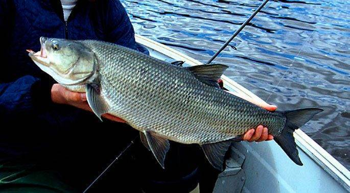 Рыба жерех: как выглядит, где водится, разновидности, места для рыбалки