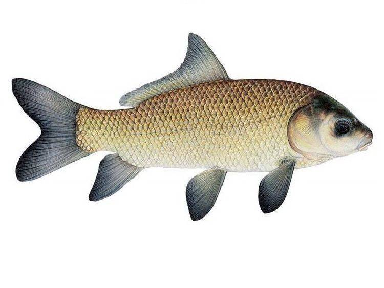 Рыба буффало или рыба буйвол родом из северной америки
