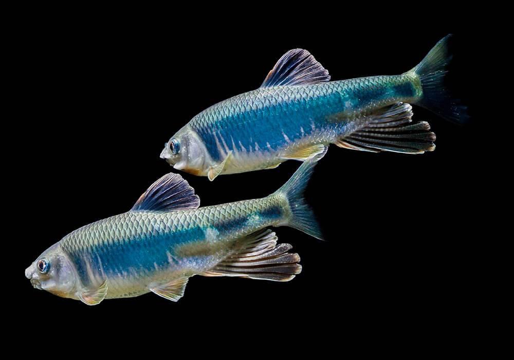 Вьюн: описание рыбы, фото, виды, места обитания, ловля, разведение
