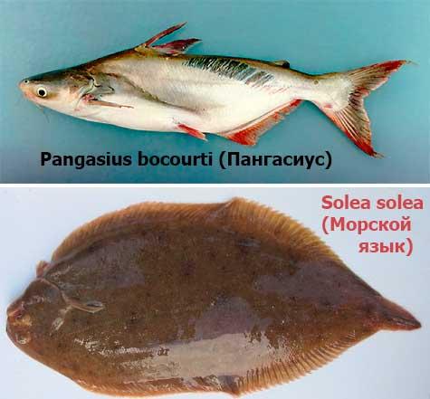 Морской язык - польза и вред, калорийность и рецепты приготовления