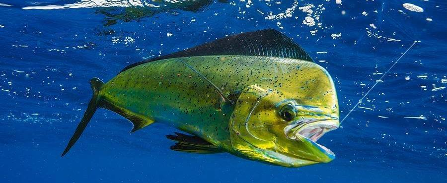 Арована рыба. описание, особенности, содержание и цена рыбы арована