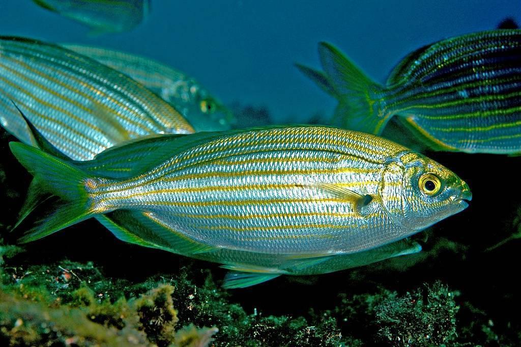 Сарпа (рыба) википедия
