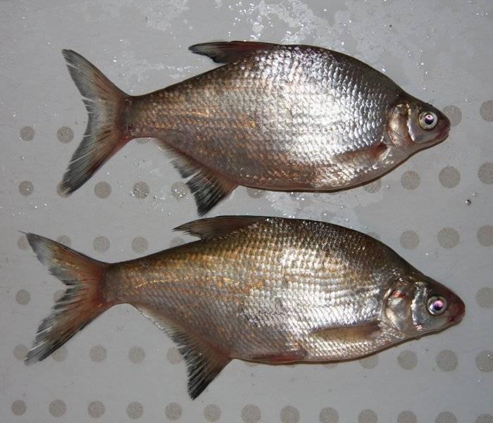 Густера и подлещик отличия фото — ловись рыбка