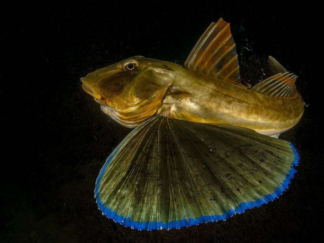 Морской петух описание рыбы с фото, рецепты, польза вред