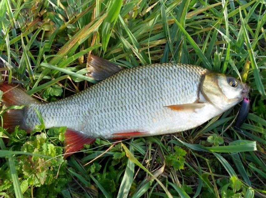 Рыба «Язь» фото и описание