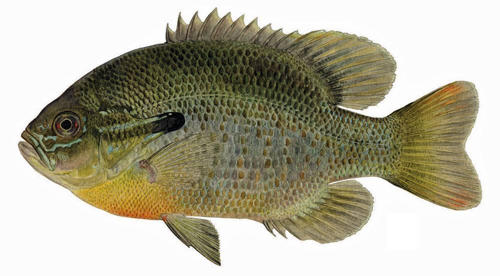 Радужный или солнечный окунь — описание, рыбалка, фото, можно ли есть