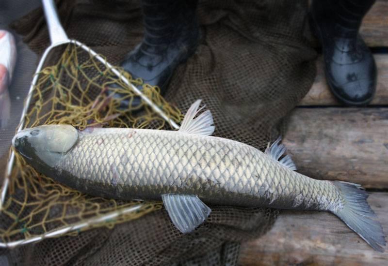 Ловля белого амура: эффективные способы