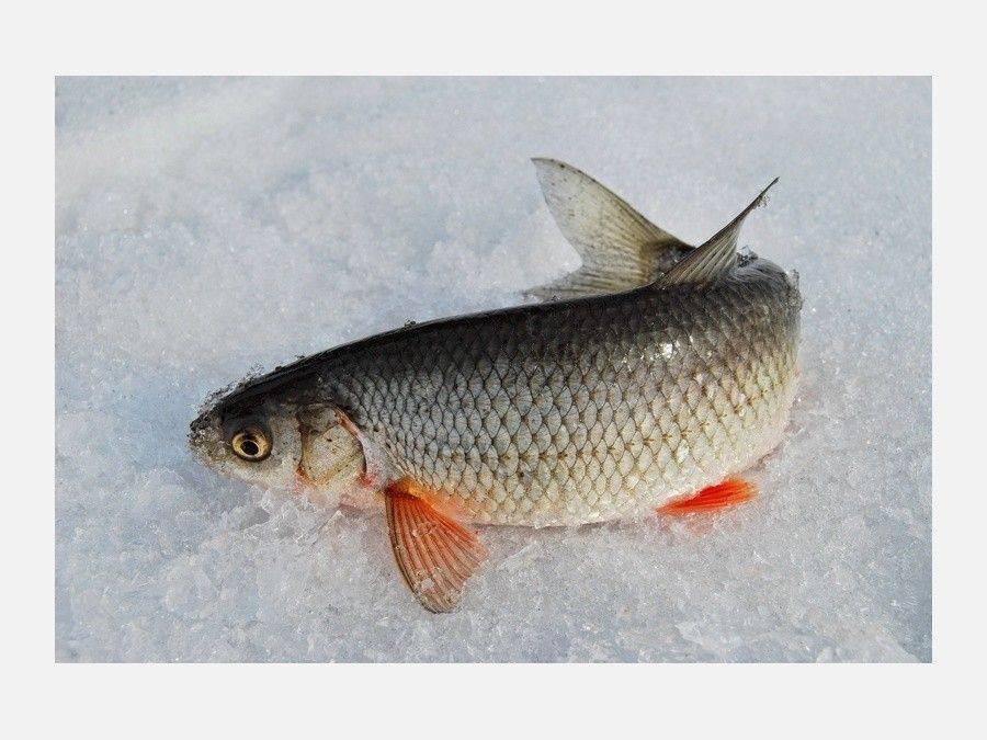 Список рыбы в реках россии с описанием и фото