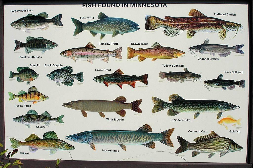 Судак – морская или речная рыба, нерест, где обитает и ловится хищник