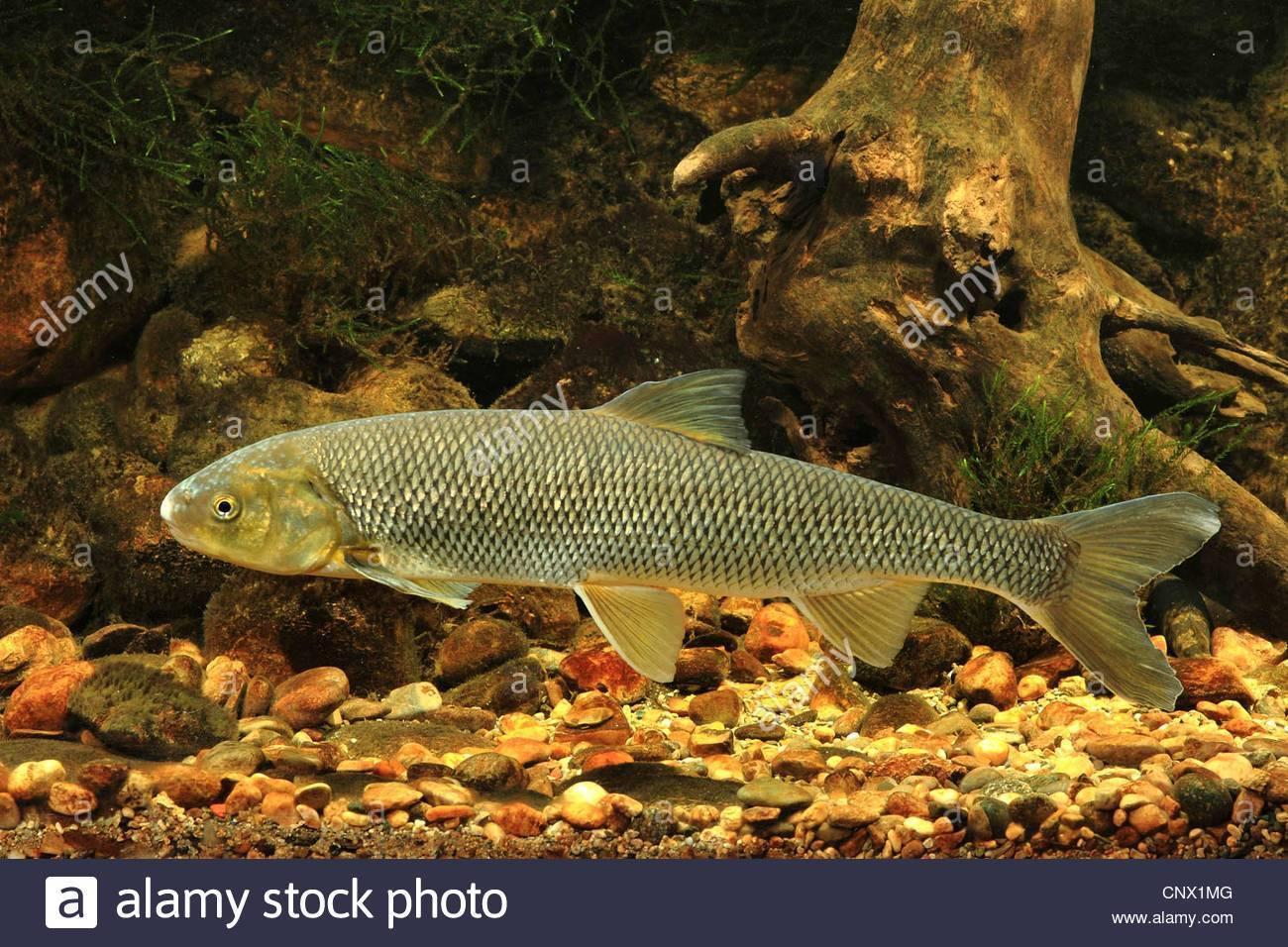 Рыба «Вырезуб» фото и описание