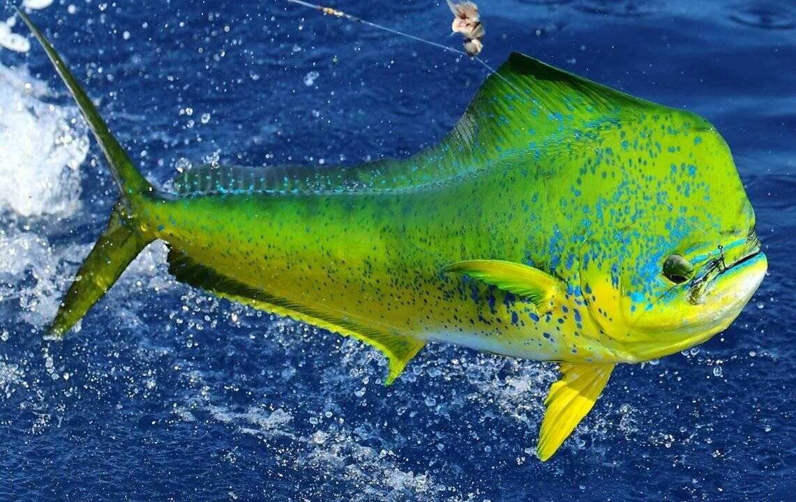 Рыба «Корифена большая» фото и описание