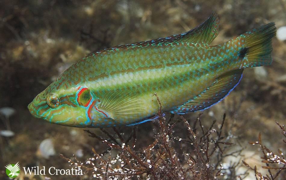Рыба «Губан-зеленушка» фото и описание
