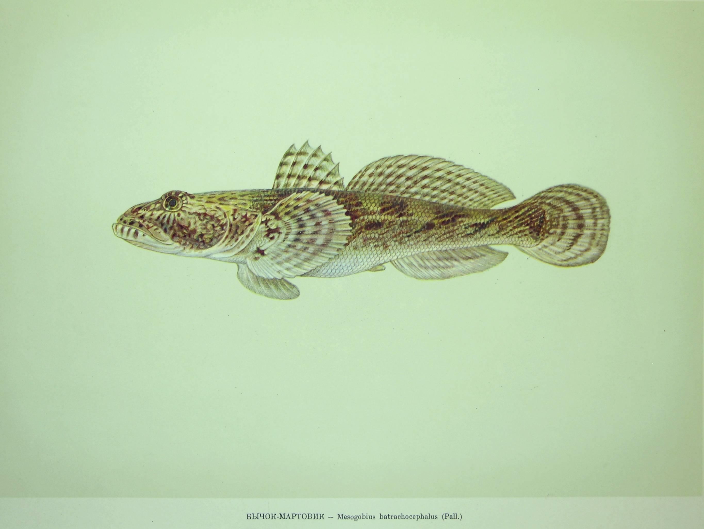 Обыкновенный бычок-подкаменщик, или широколобка