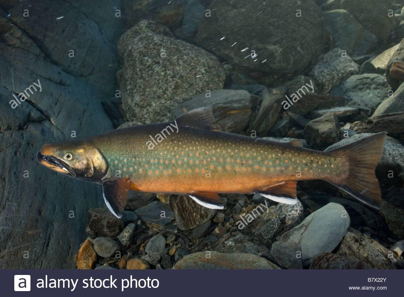 Рыба нельма описание и фото   все о нельме в деталях