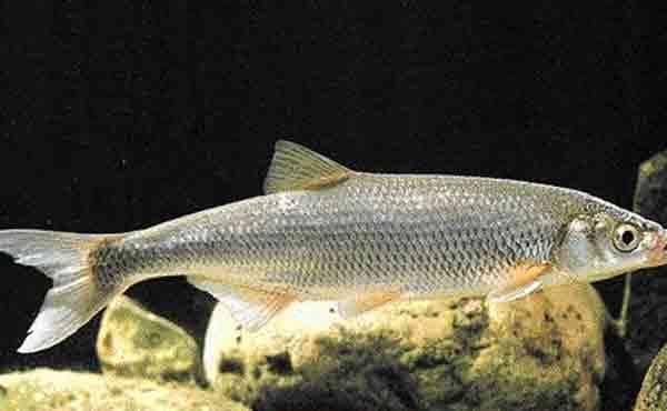 Шамайка - рыба, называемая «царской»