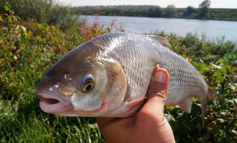 Рыба нототения: где водится, чем питается, ловля и вкусовые качества