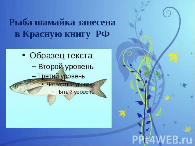 Шемая: рыбы из красной книги россии, описание