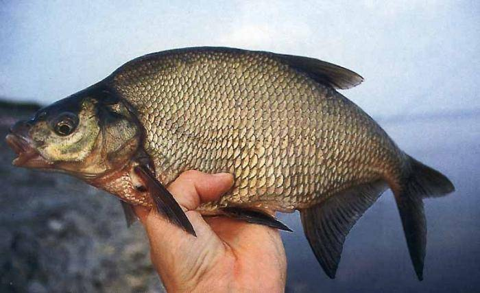Рыба сазан: как выглядит, где водится, на что ловить | клёвая рыбалка