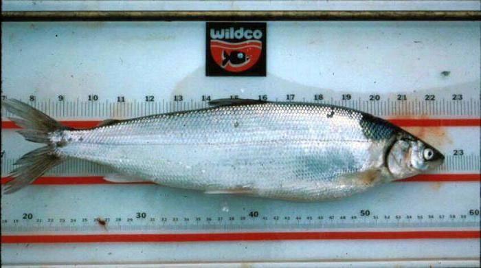 Скрипица (lactarius vellereus) фото и описание