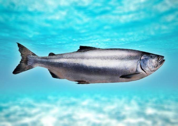 Как отличить горбушу самку от самца (10 фото): как определить и выбрать замороженную рыбу с икрой?