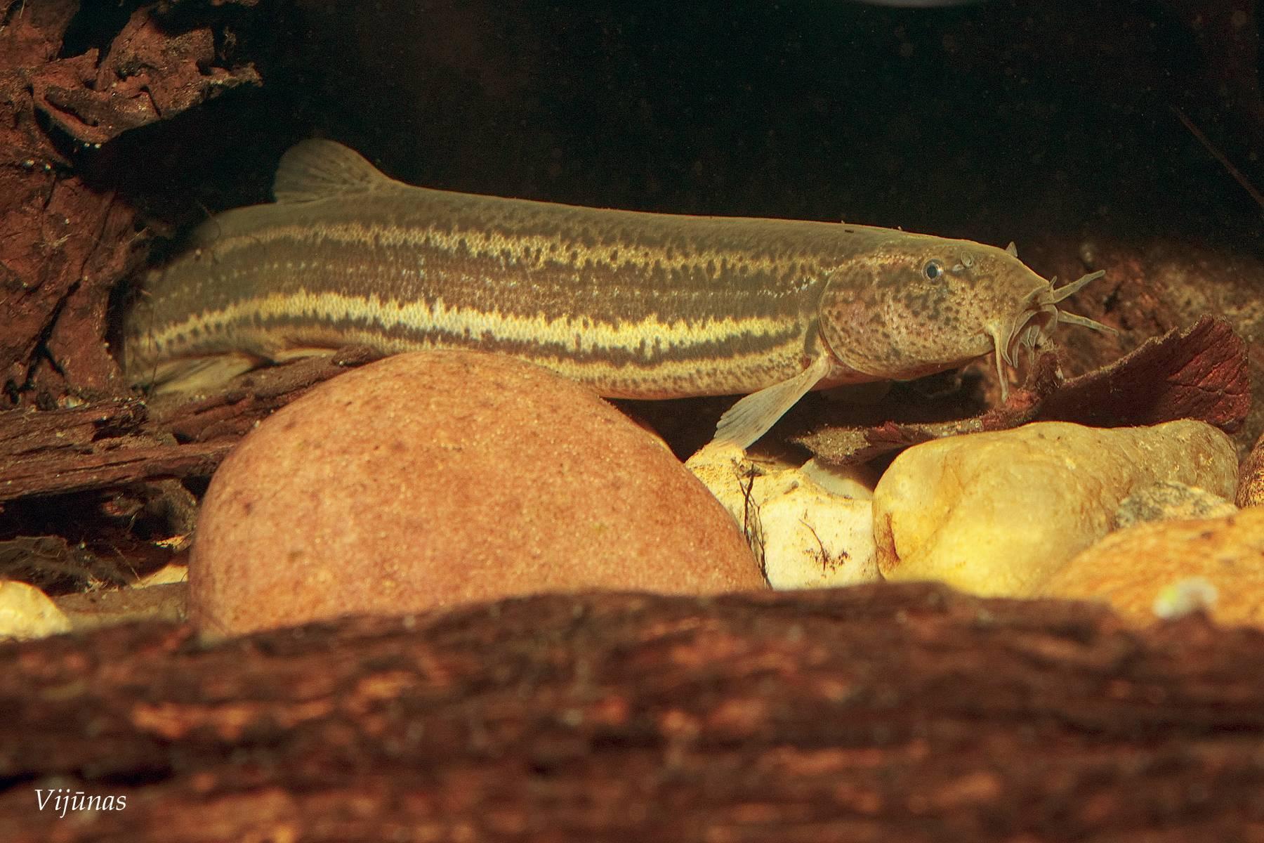Рыба вьюн, ее фото и среда обитания, отличительные особенности рыбы и способы ловли вьюна