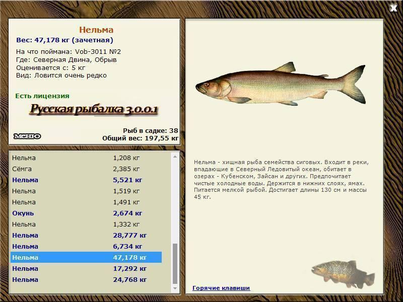 Белорыбица – что это за рыба, в каких северных реках обитает, как её готовить и чем отличается от нельмы