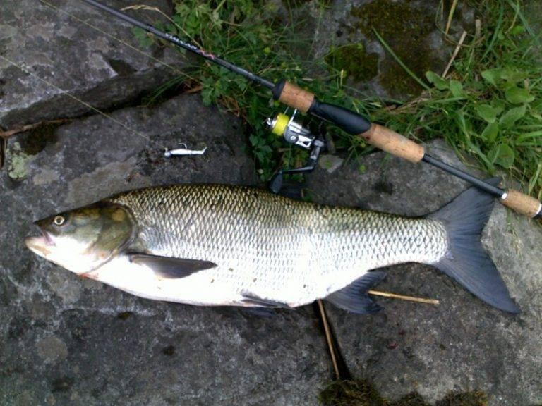Рыба жерех: фото с подробным описанием жизни, внешнего вида и способов ловли