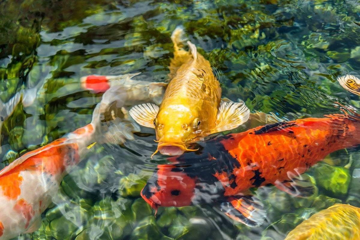 Карп кои: особенности и описание рыбки, содержание в домашних условиях