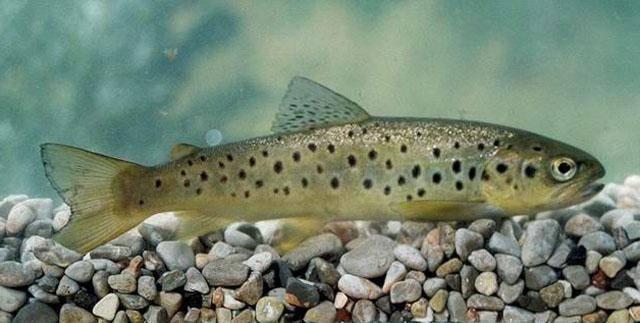 Форель рыба: ее виды и отличия, как выглядит, где водится, и когда нерест форели