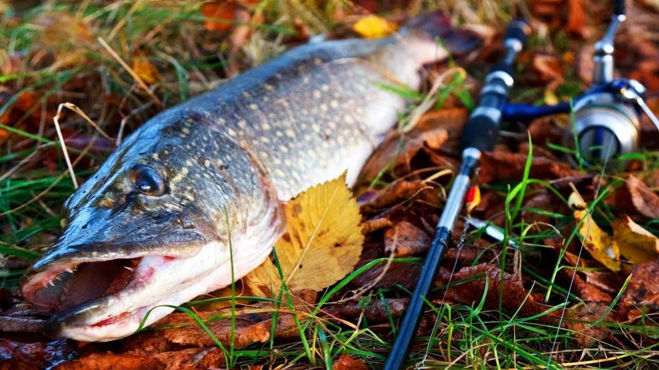 Ловля щуки осенью на спиннинг: когда клюет и на что ловить