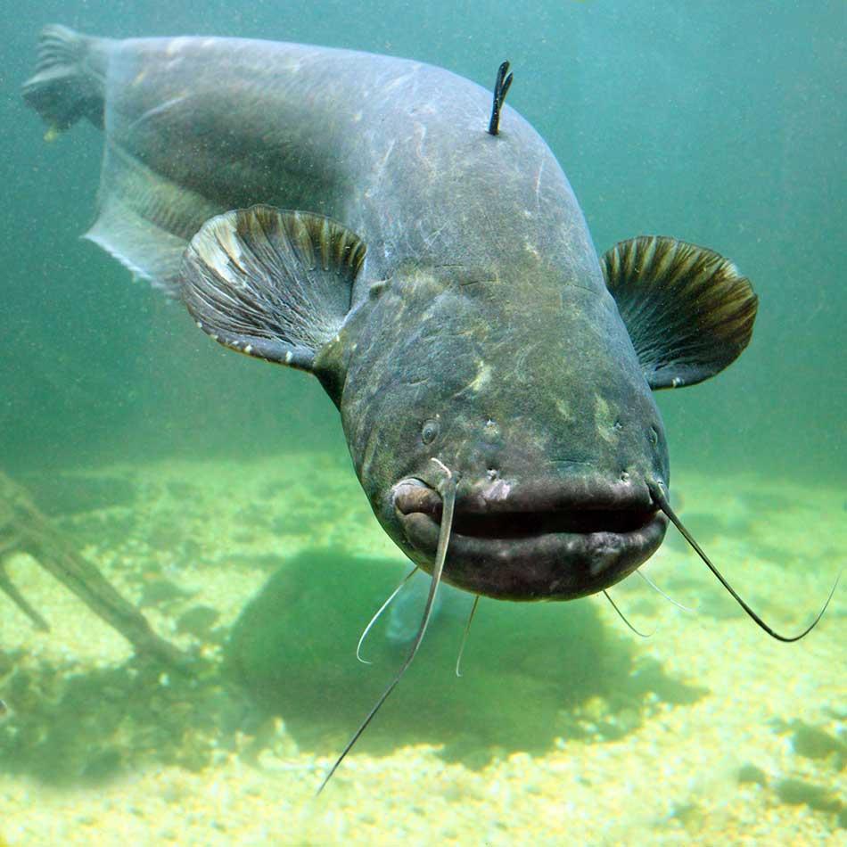 Сом: рыба сом фото и описание, виды, нерест, способы ловли, образ жизни, приманки, снасти на сома