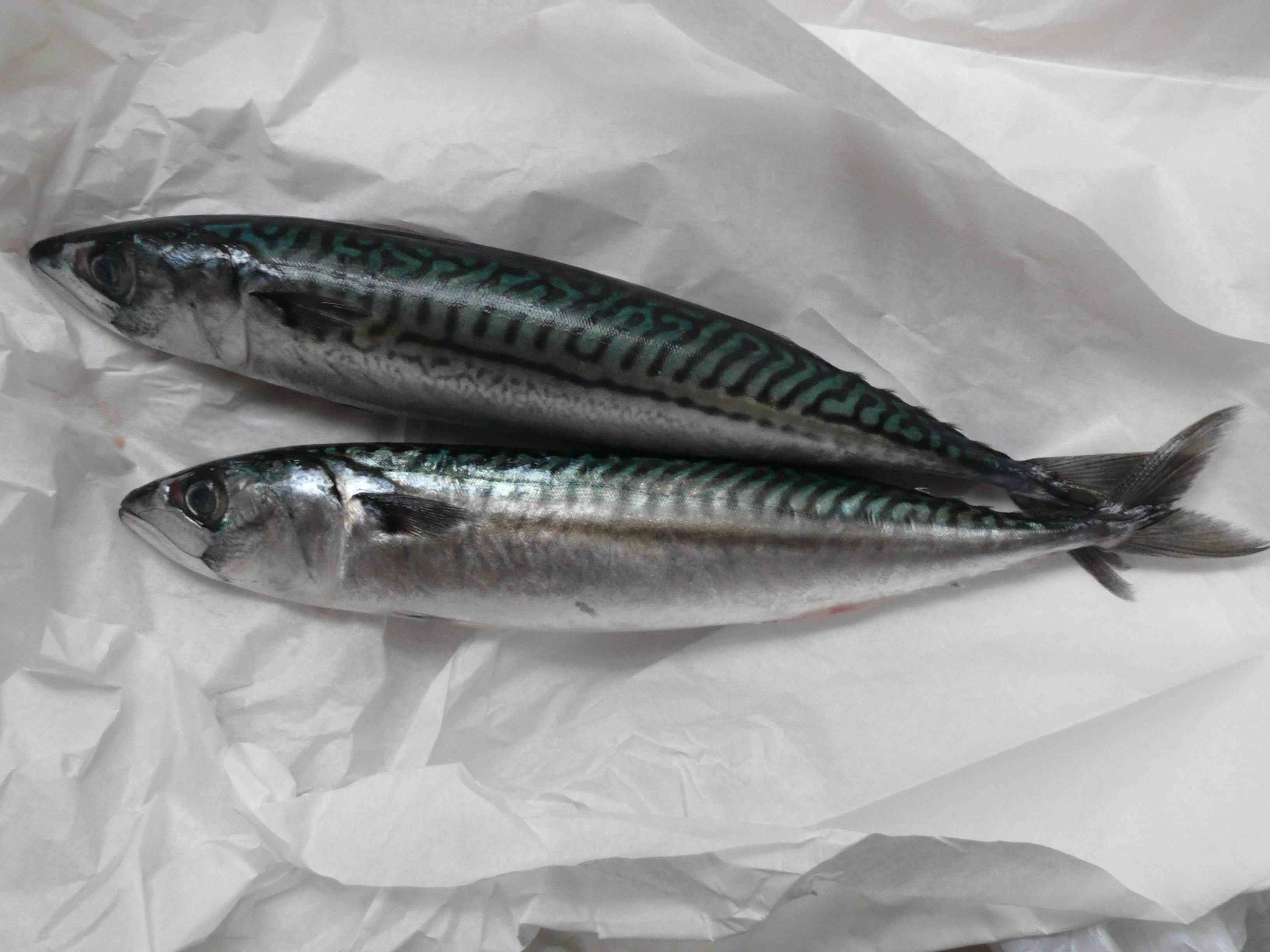 Что за рыба макрель – фото и описание – суперулов – интернет-портал о рыбалке