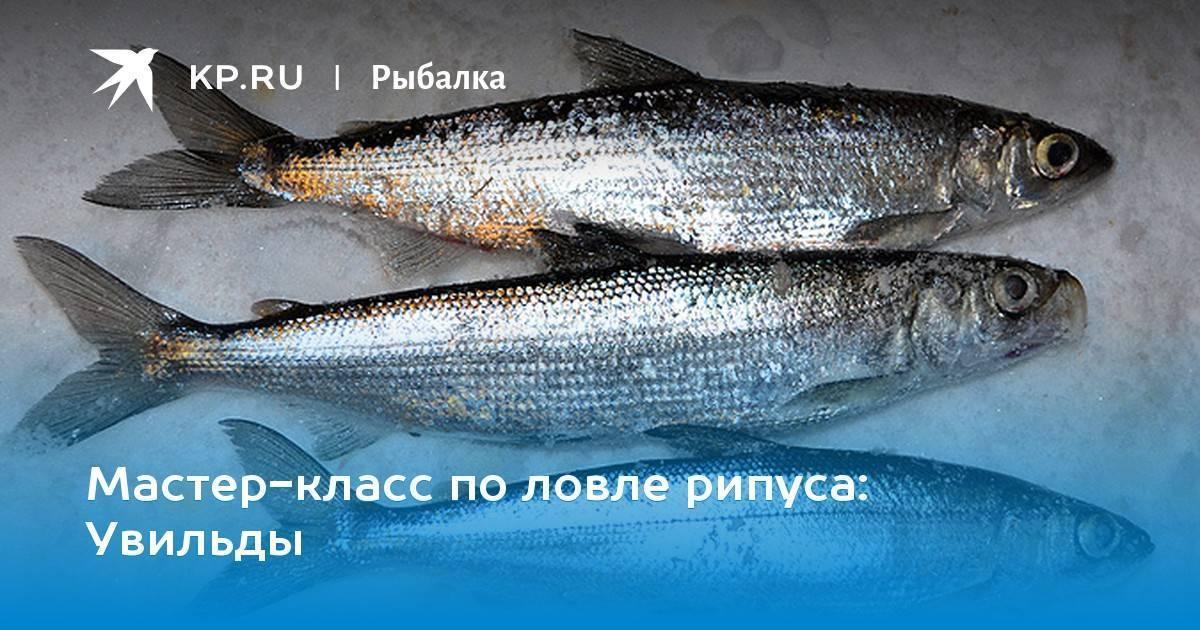Рыба рипус: описание, ловля и рецепты приготовления