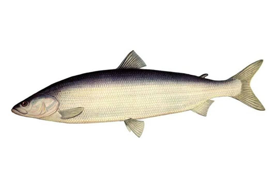 Рыба нельма: описание, фото, ловля