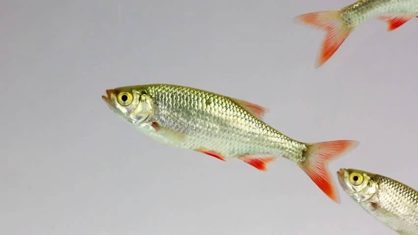 Интересные факты про рыбу вьюн-фото и описание