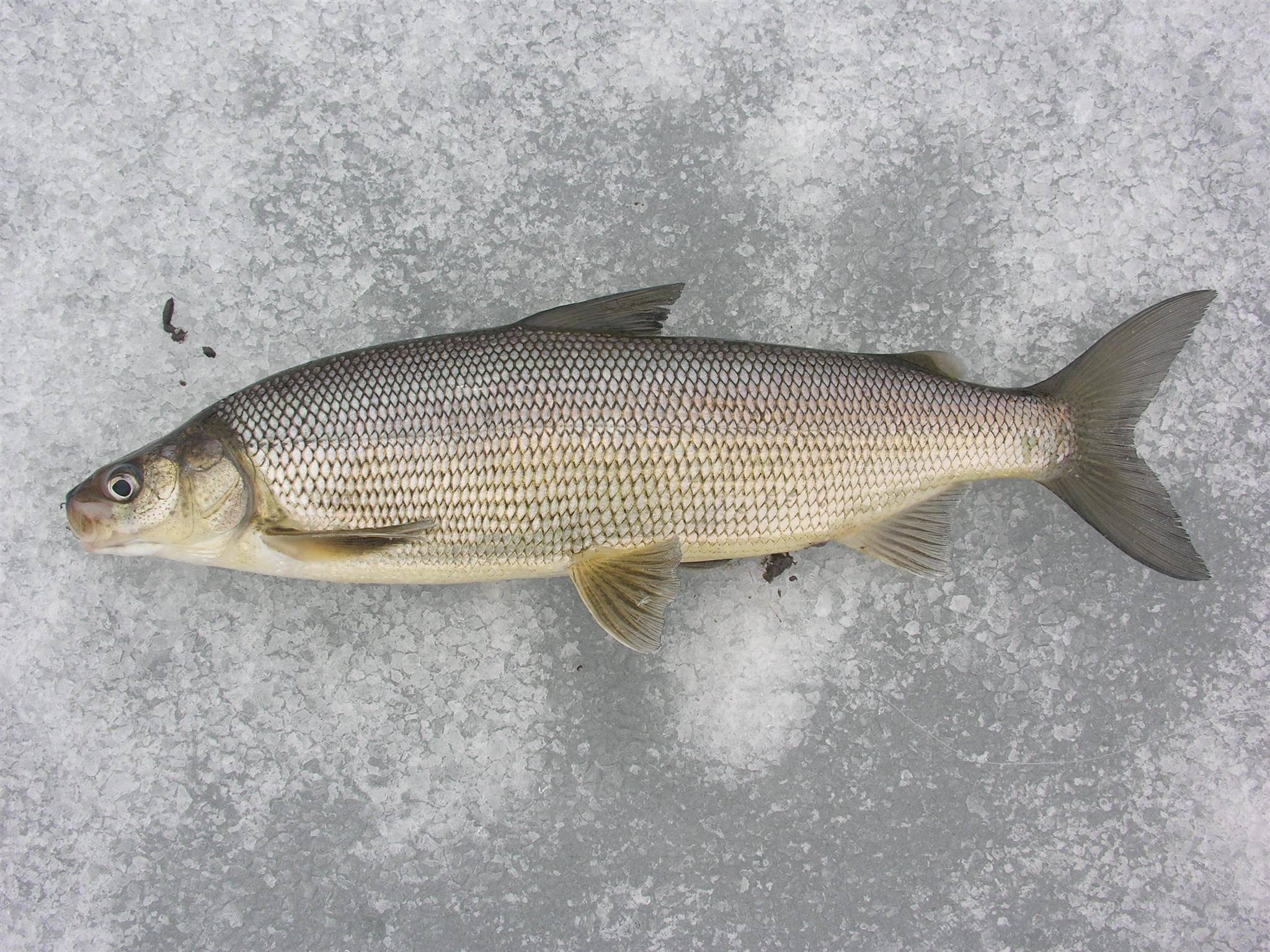Рыба сиг: описание, фото. где обитает • мега рыбак