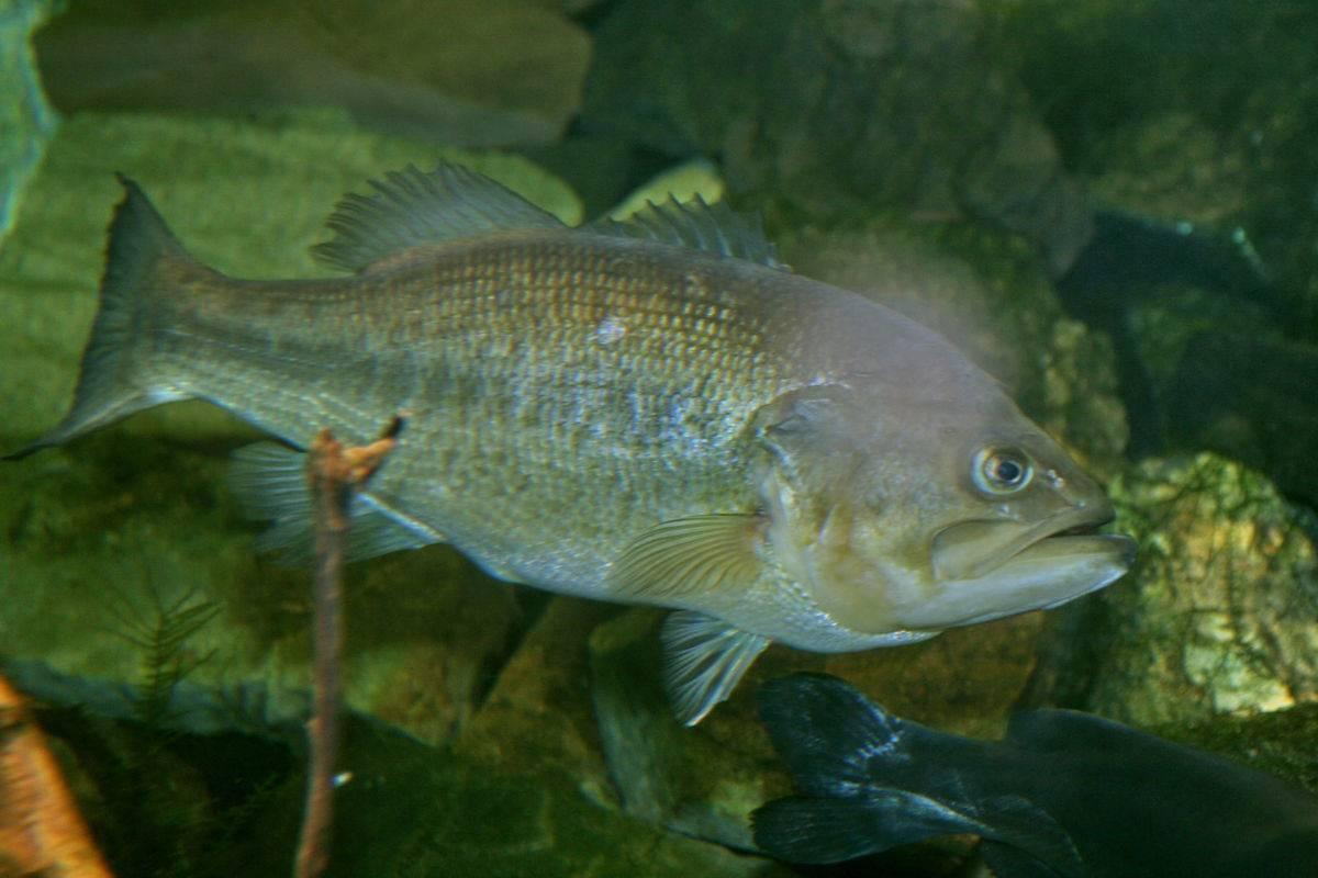 Большеротый басс рыбалка – миннесота, mn - fishingbooker
