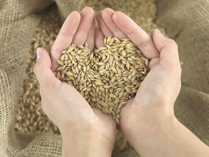 Как правильно запаривать пшеницу для рыбалки и использовать на практике