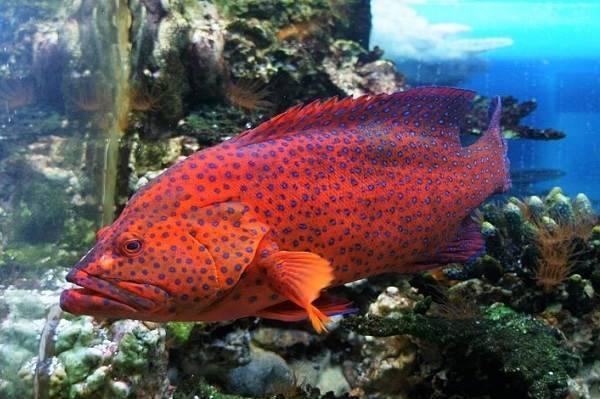 Ушастый окунь или солнечная рыба