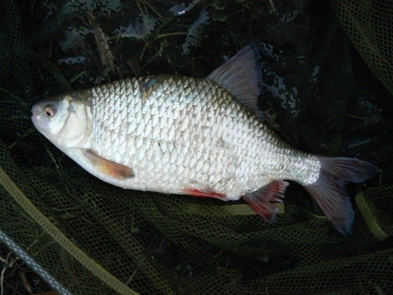 Плотва рыба фото и описание