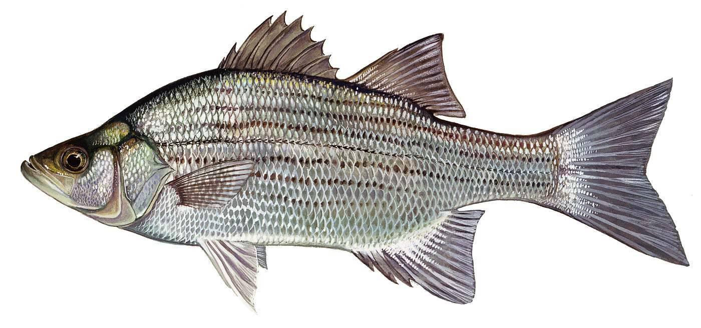 Рыба «Басс белый» фото и описание