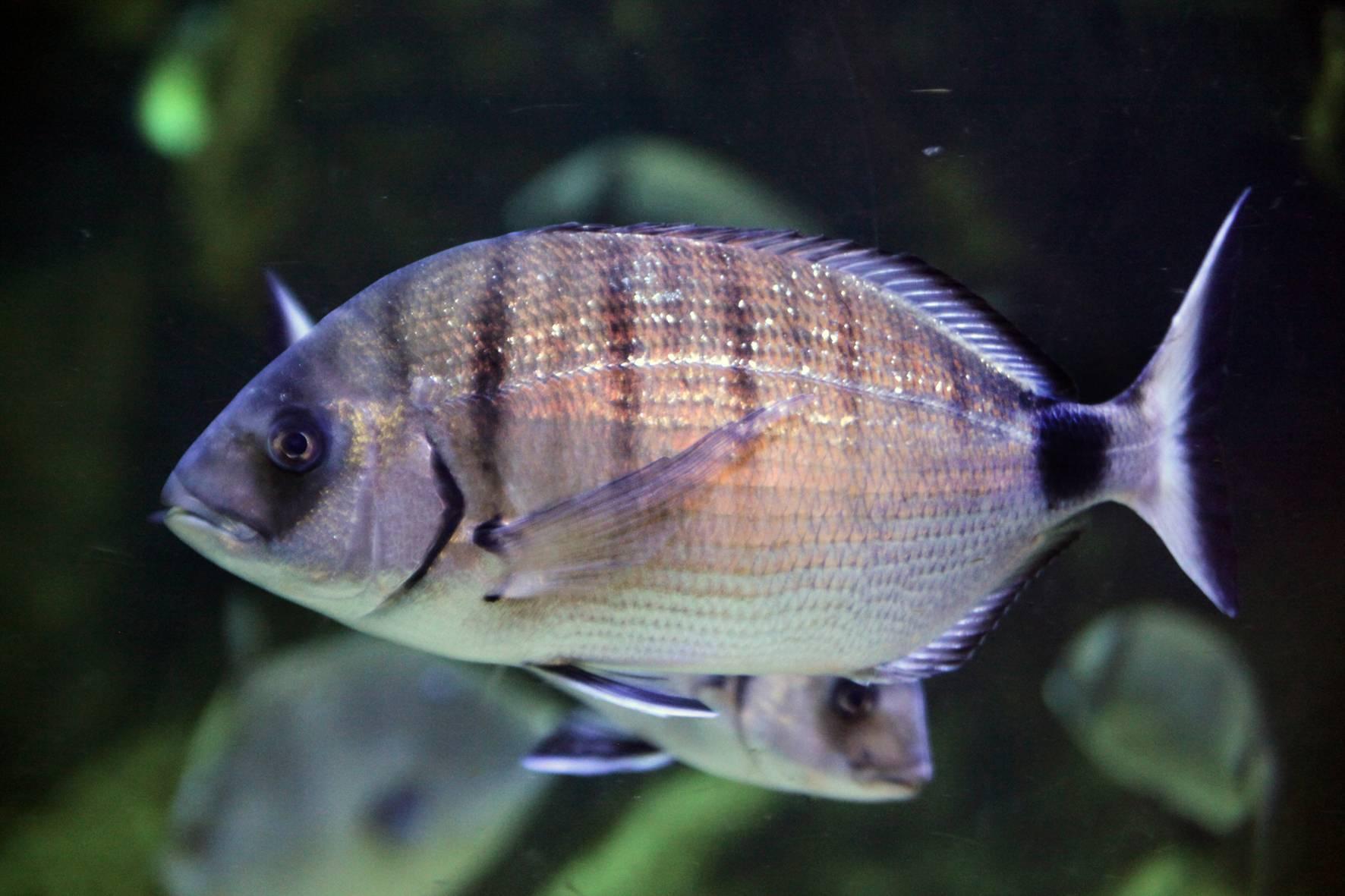 Рыба уклейка