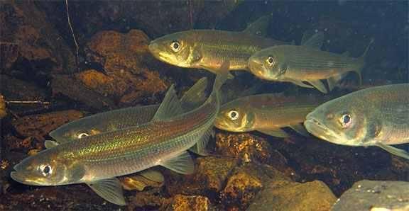 Какие бывают виды рыб семейства корюшки, чем питается и где водится корюшка, основные способы ее ловли