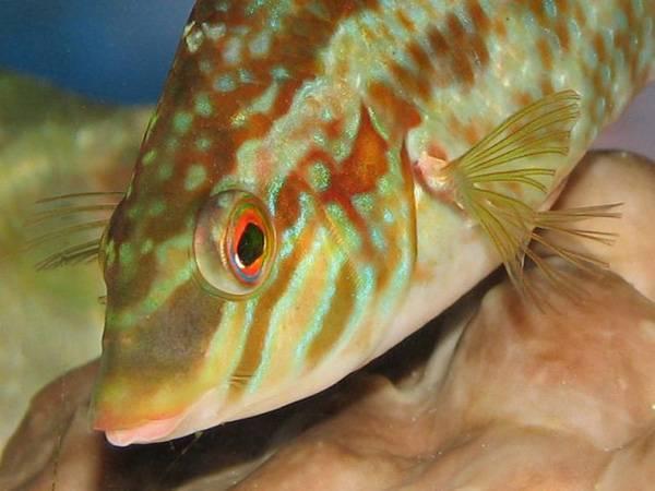 Губан-пижама: описание и содержание | аквариумные рыбки