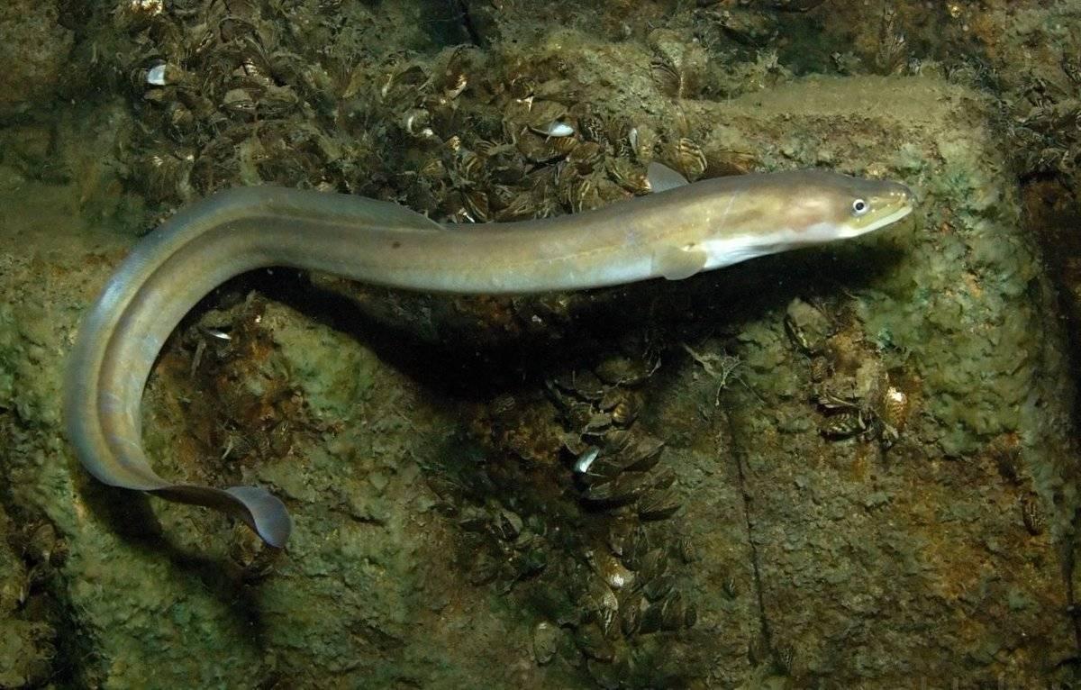 Речная рыба угорь: характерные особенности поведения речного и морского угря, места обитания