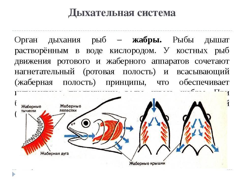 Как дышат животные, живущие под водой? / биология | thpanorama - сделайте себя лучше уже сегодня!