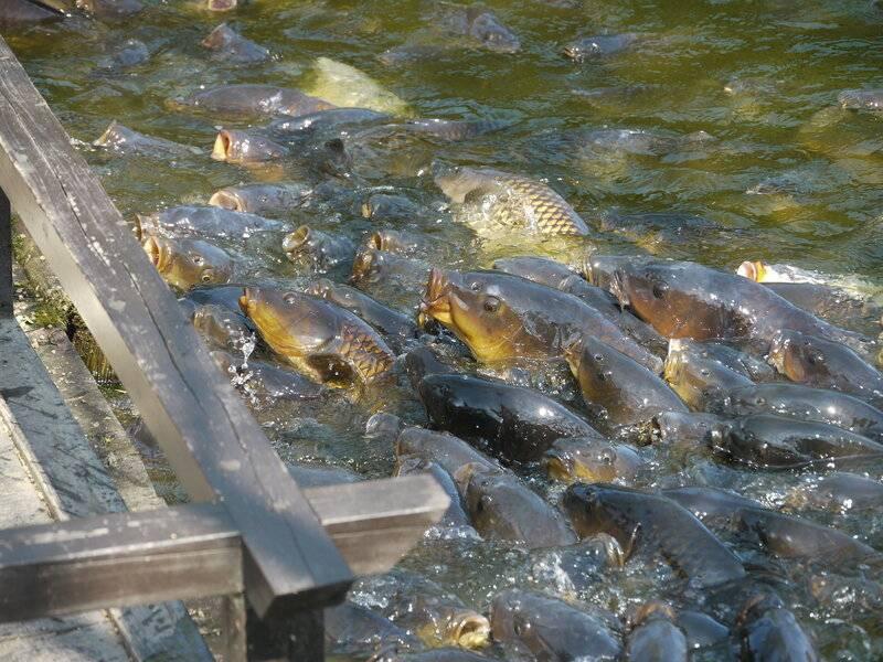 Карп рыба: места обитания, образ жизни и виды карпа, скорость роста и нерест