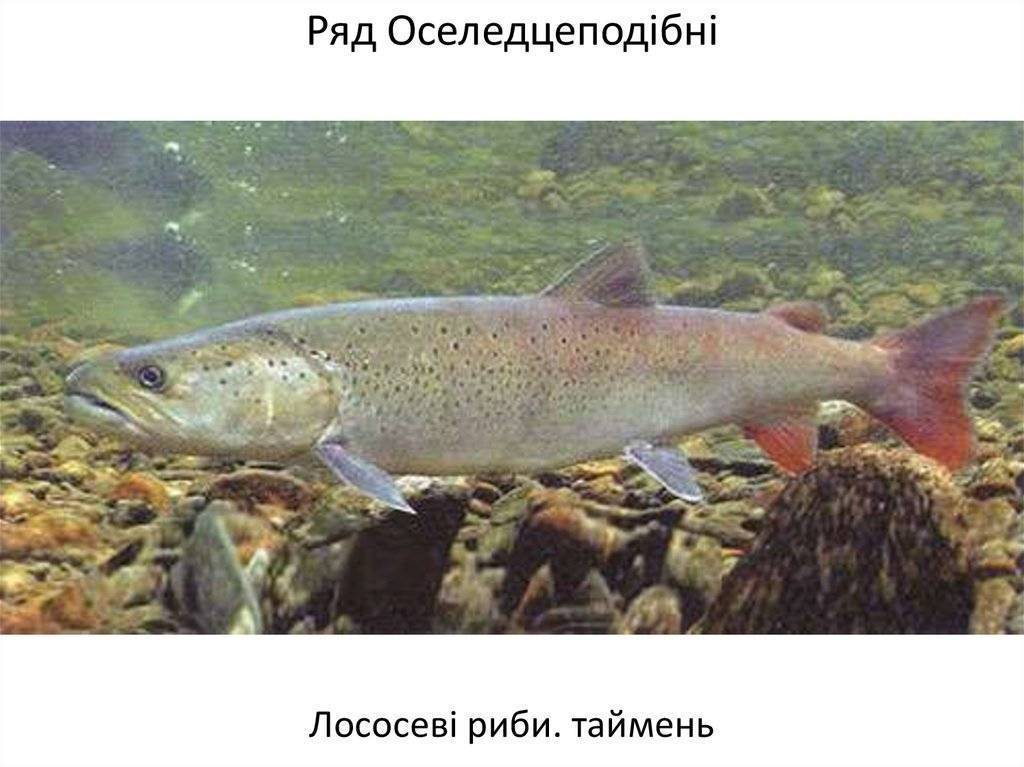 Лососевые рыбы — фото и названия